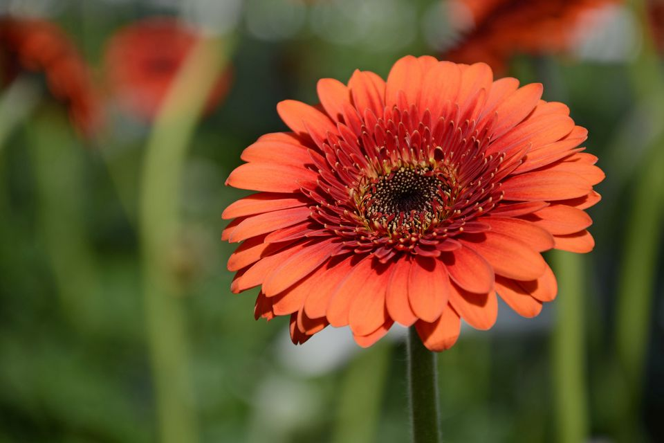 13 plants with daisy like flowers Where did daisies originate