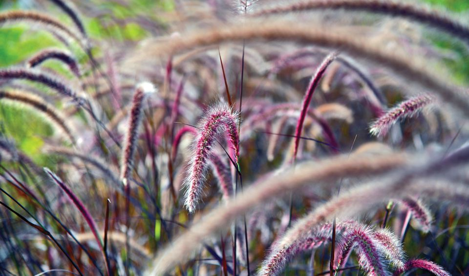 deer resistant ornamental grasses