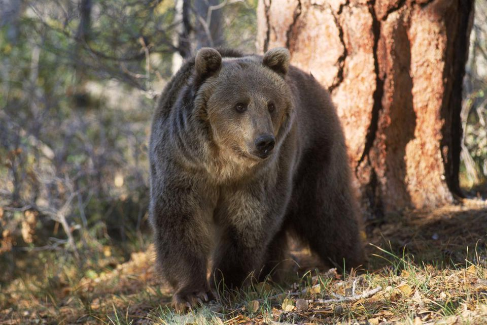 Grizzly bear in woods of North America