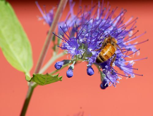 Picture of caryopteris shrub with bee.