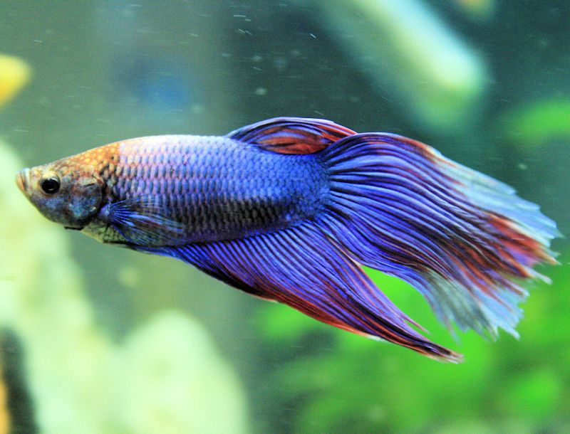 What makes labyrinth fish different for What type of water do betta fish need