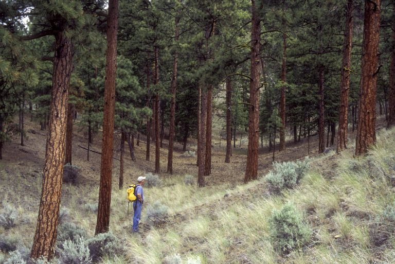 Hiking in Ponderosa Pine forest, Shuswap region, British Columbia, Canada.