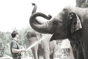 Zoo employee sprays water into an elephant's mouth