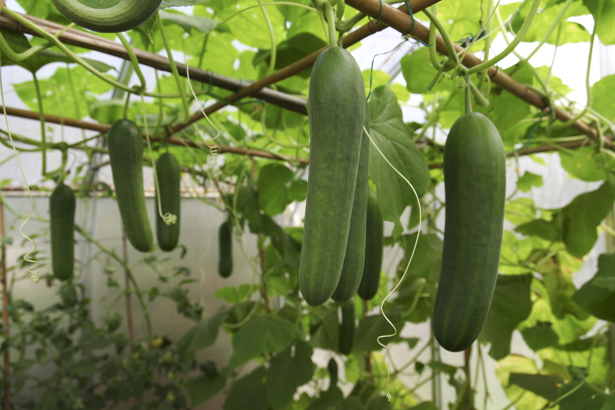 Tips for Growing Cucumbers in Pots Container Gardening Tips