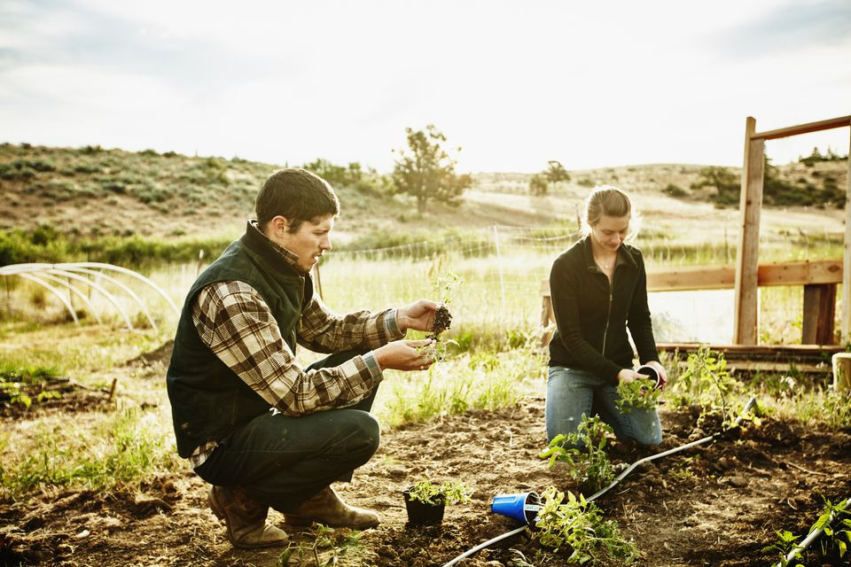 Farm owners planting vegetables