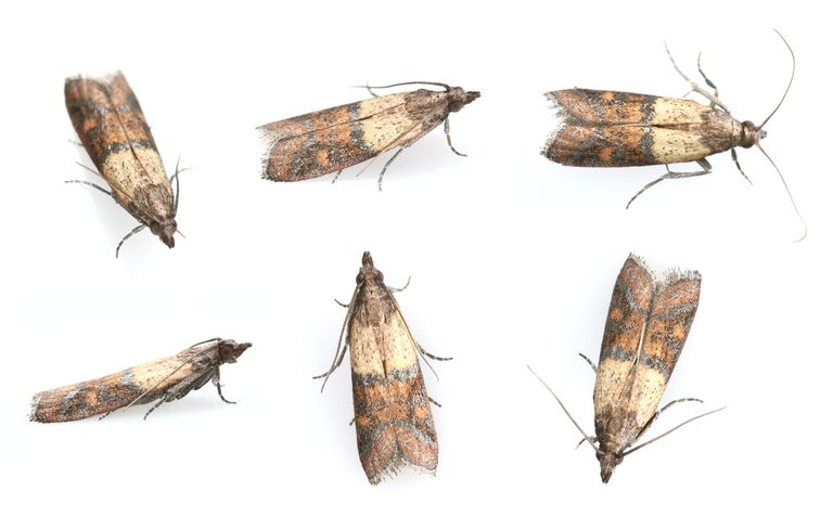 Pantry Moths (Indian Meal Moth)