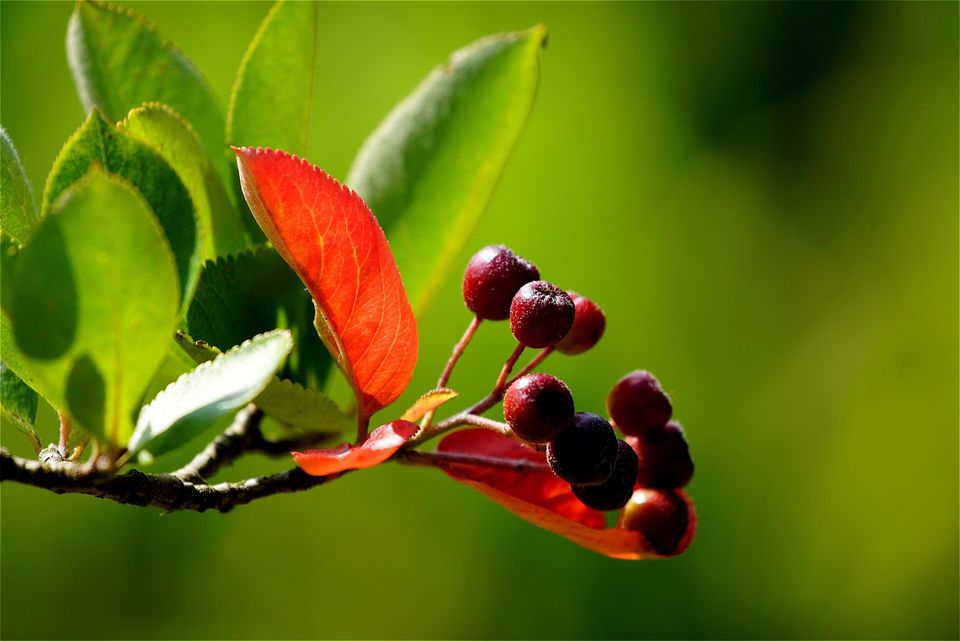 Close-Up Of Chokeberries Growing Outdoors