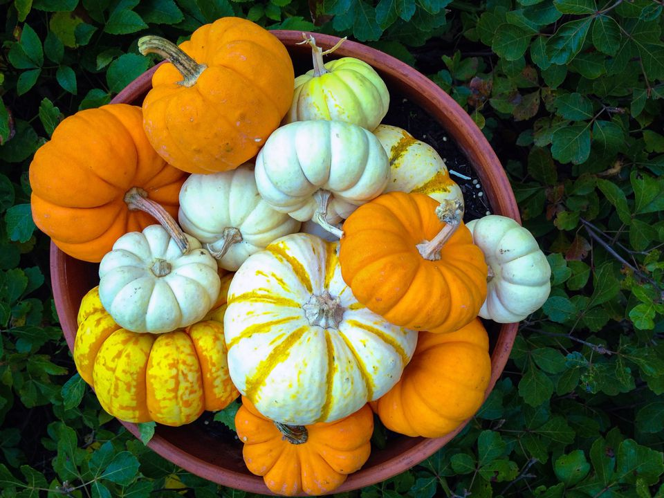 High Angle View Of Fresh Pumpkins In Pot In Back Yard
