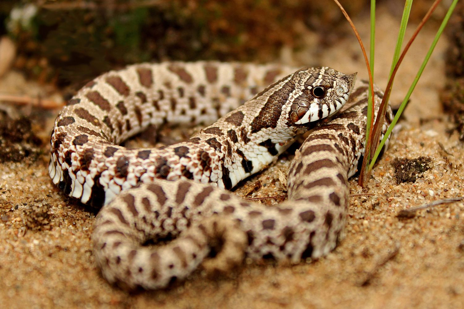How To Care For Pet Hognose Snakes