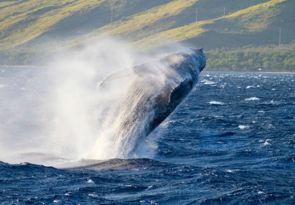 Humpback whales at Kihei, Hawaii