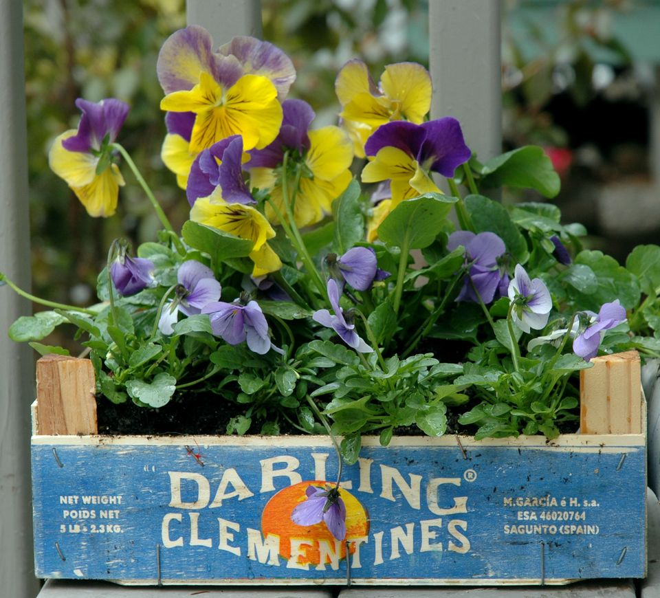 clementine orange box container garden