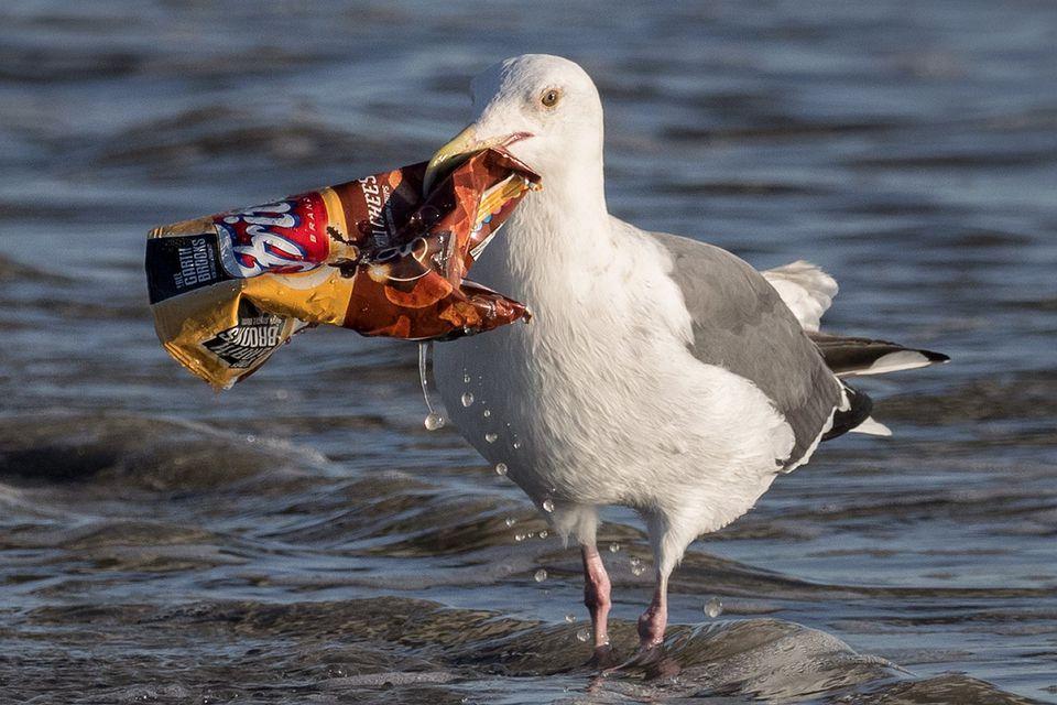 Gull With Litter