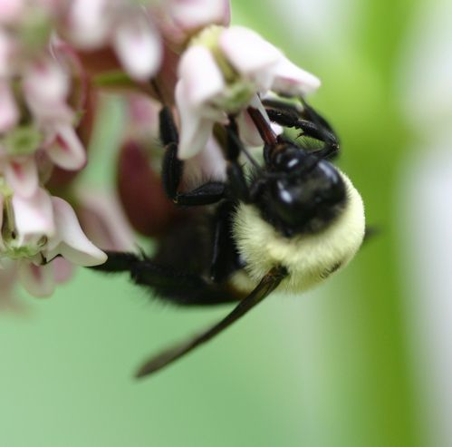 A bumblebee uses its extended proboscis to extract nectar from a milkweed flower.
