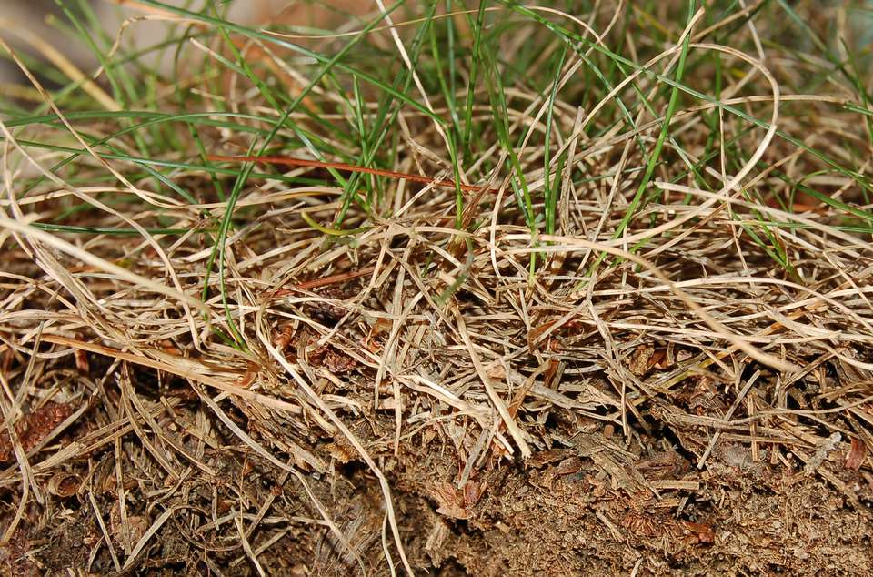 Image of lawn thatch.