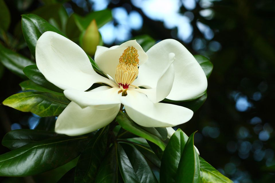 12 Species of Magnolia Trees and Shrubs