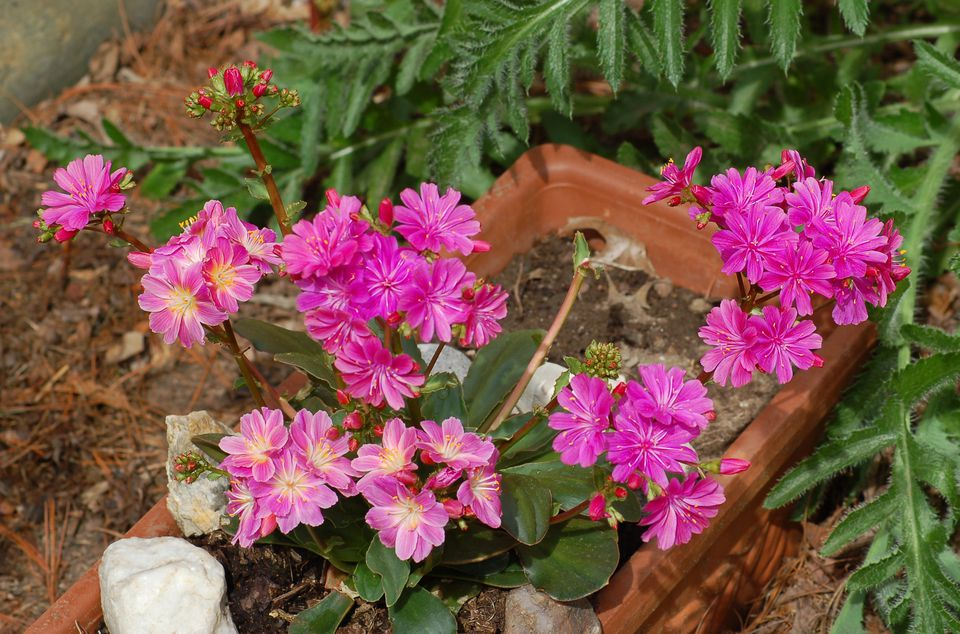 Lewisia cotyledon Rainbow Mix provided me with light pink and darker pink flowers.
