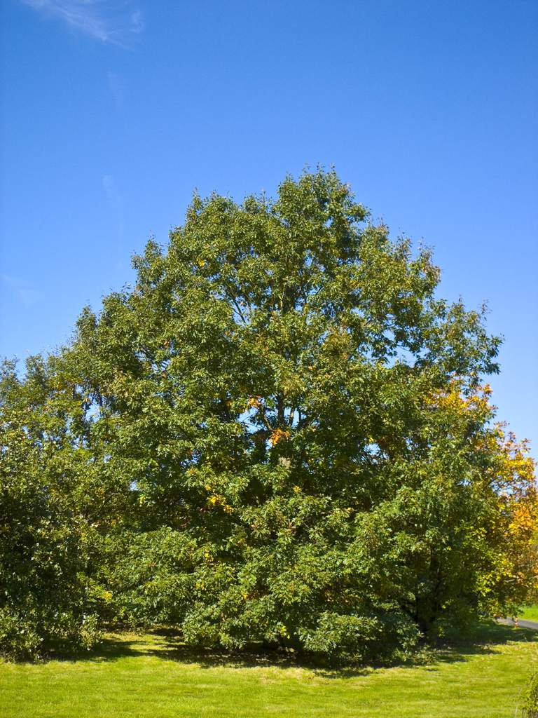 Black Oak, a Top 100 Common Tree in North America