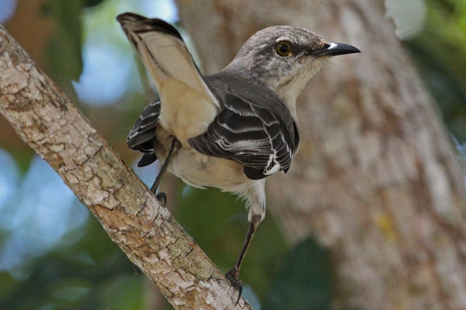 state bird of florida northern mockingbird