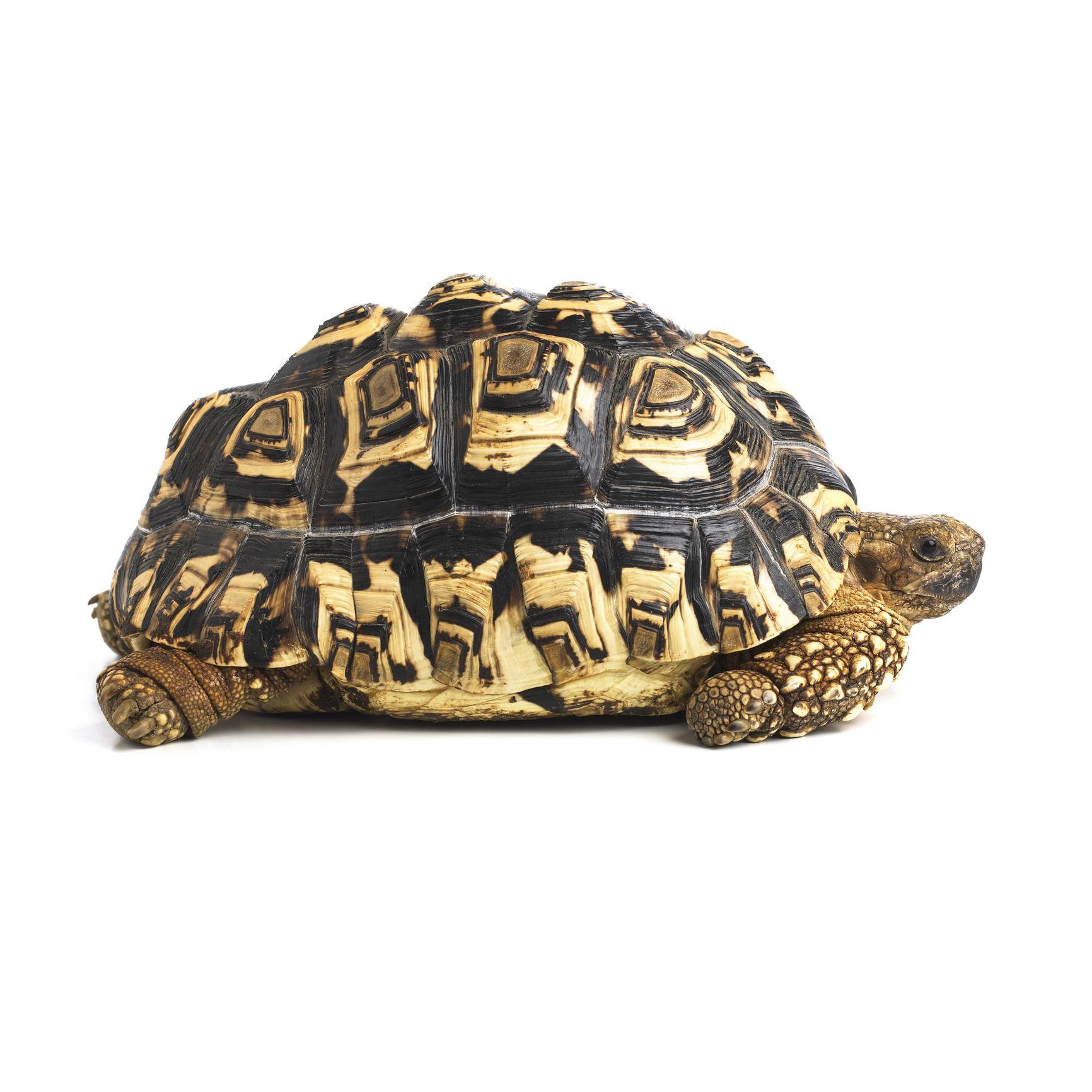 Housing tortoises indoors building custom enclosures do leopard tortoises make good pets solutioingenieria Choice Image