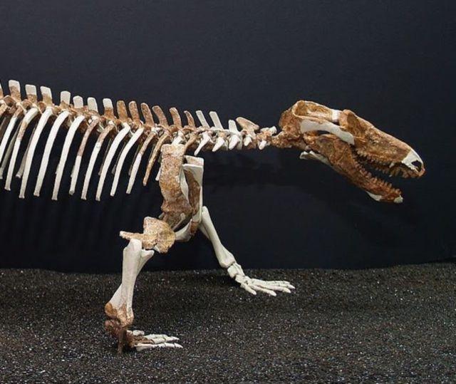 procynosuchus