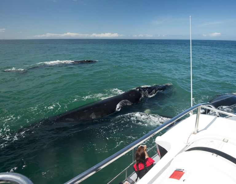 Tourist photographing Southern Right whale