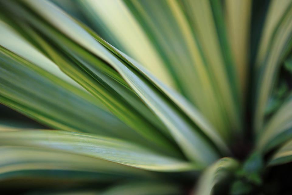 Yucca Plant Macro.
