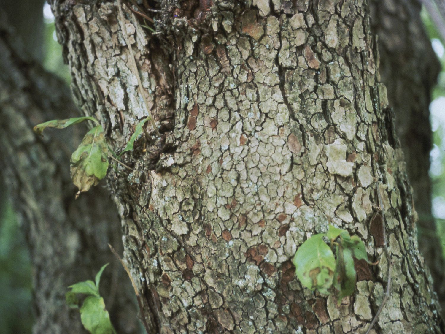 leaf spot tree disease  prevention and control