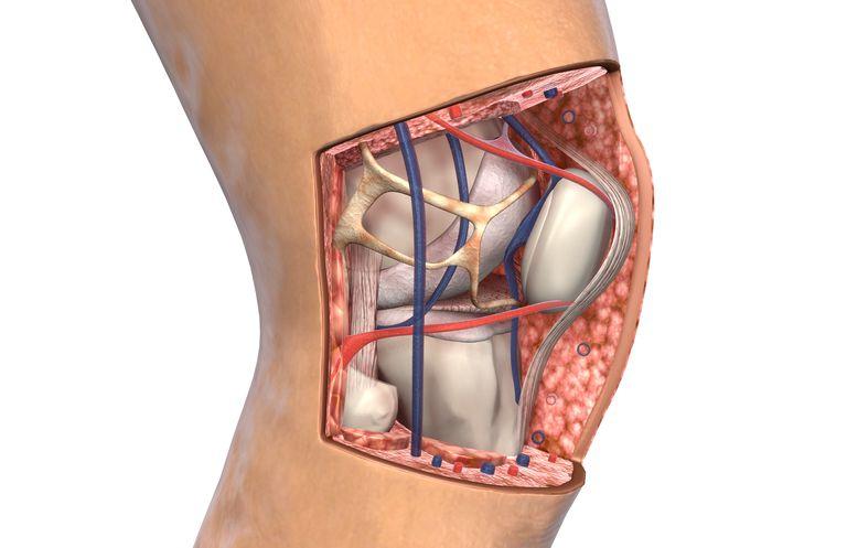 The knee antomy