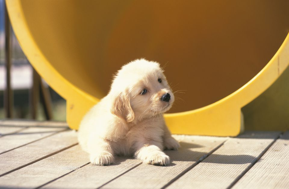 Golden Labrador Puppy in Playground
