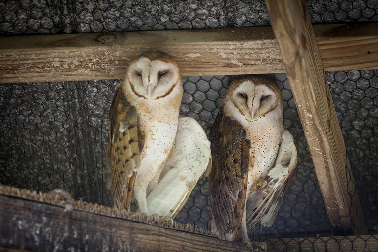 Two barn owls in captivity