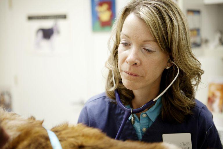 Female veterinarian using stethoscope on a dog