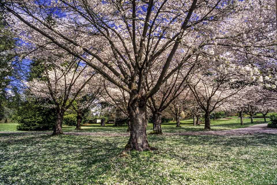 Cherry Blossom Tree, Stanley Park, Vancouver, British Columbia, Canada