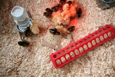 Chicks happily set up.