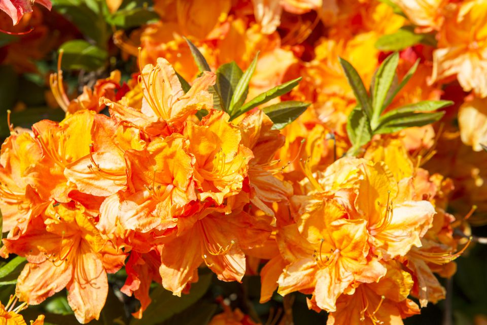 Best Shrubs With Red Or Orange Flowers