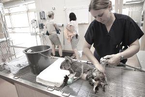 Woman bathes injured Koala.