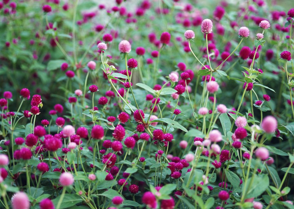 Gomphrena Globe Amaranth Flowers