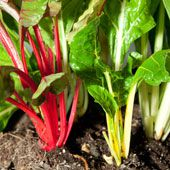 How to Grow Silverbeet