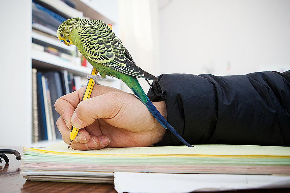 Green Budgerigar standing on my pen,and watching my diary.