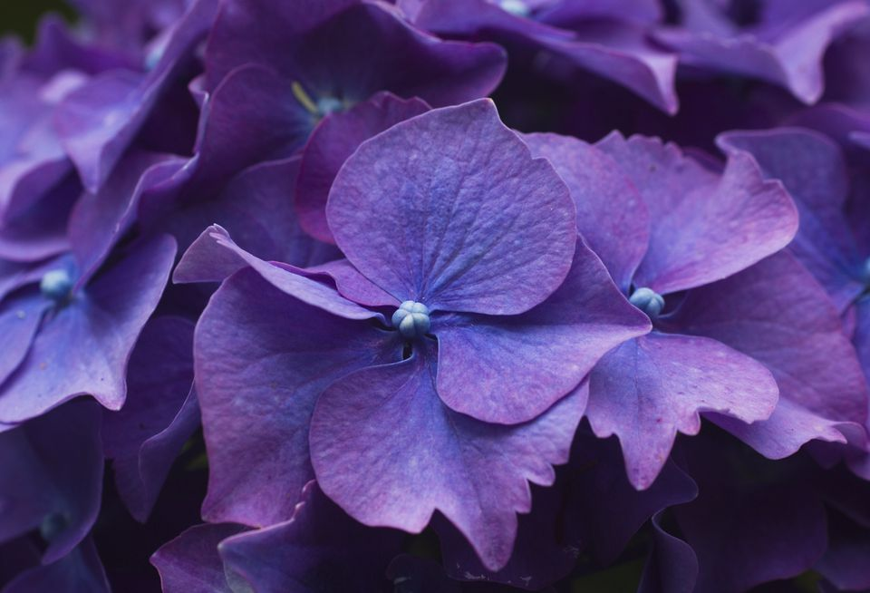 Best shrubs with purple flowers closeup of sepals of purple hydrangea shrub flower mightylinksfo Images