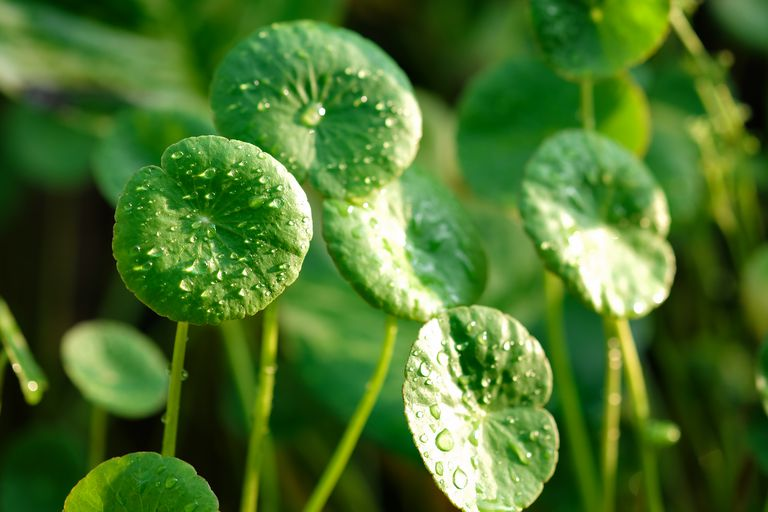 Centella asiatica morning dew