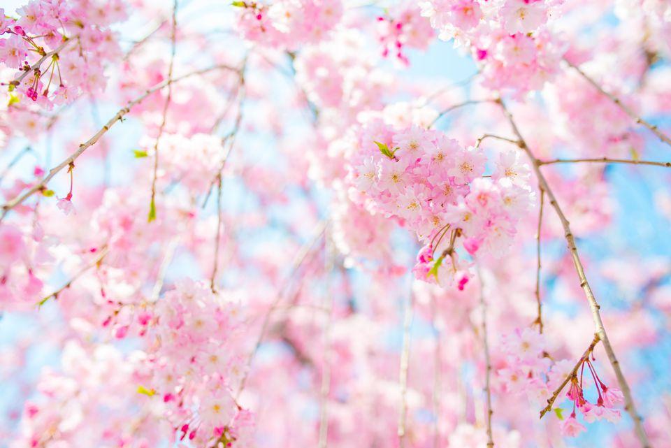 Spring Events in Silicon Valley | Sakura Blossom Festival in Cupertino
