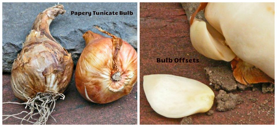 Bulbs and Bulb Offsets
