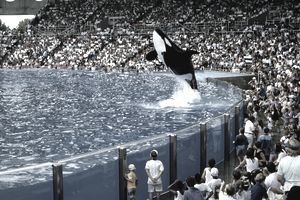 Orca whale jumping in Seaworld show
