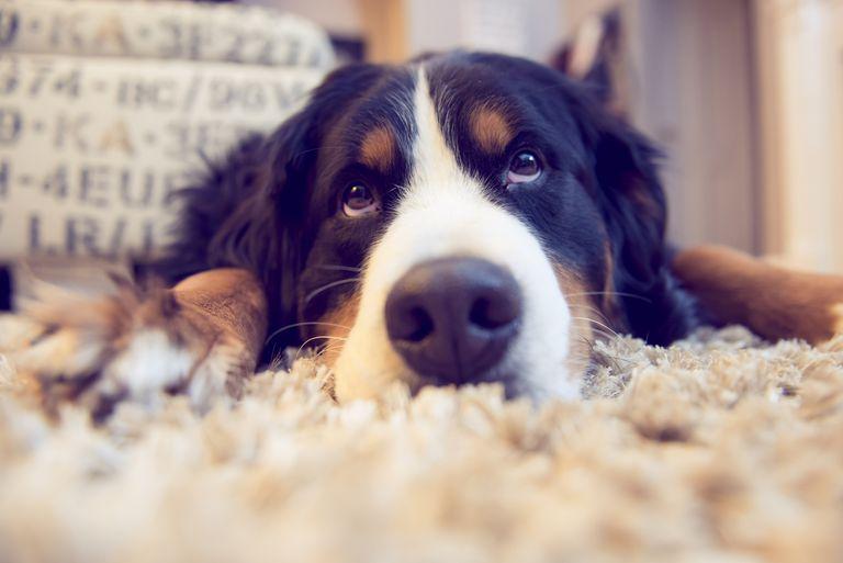 A pouting Bernese Mountain Dog