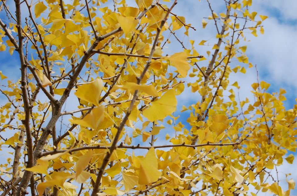 Image of Ginkgo biloba tree branches covered with fall leaves.