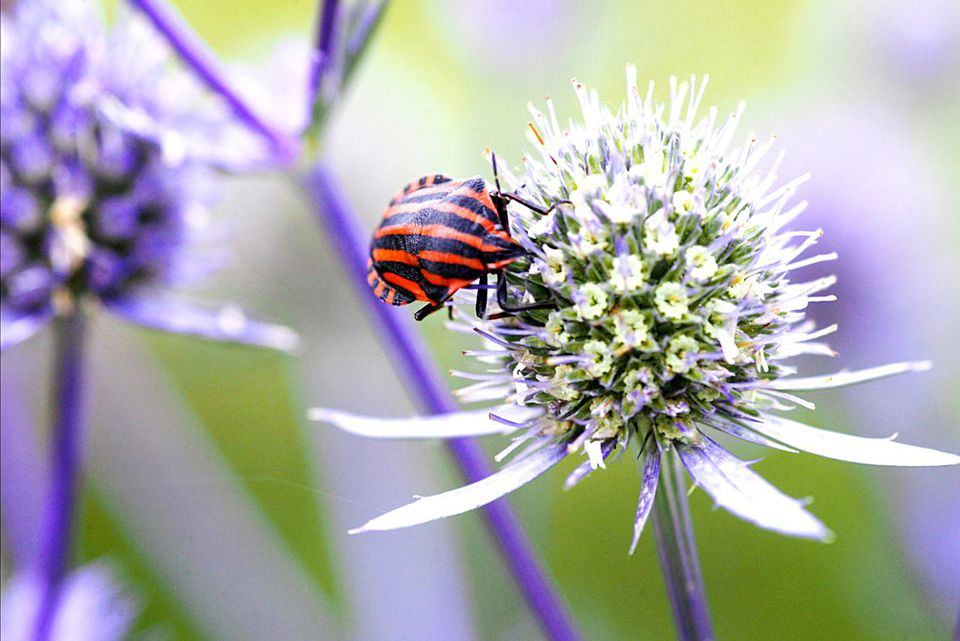 Erygium (sea holly) being visited by a bettle, e. de raedt, july
