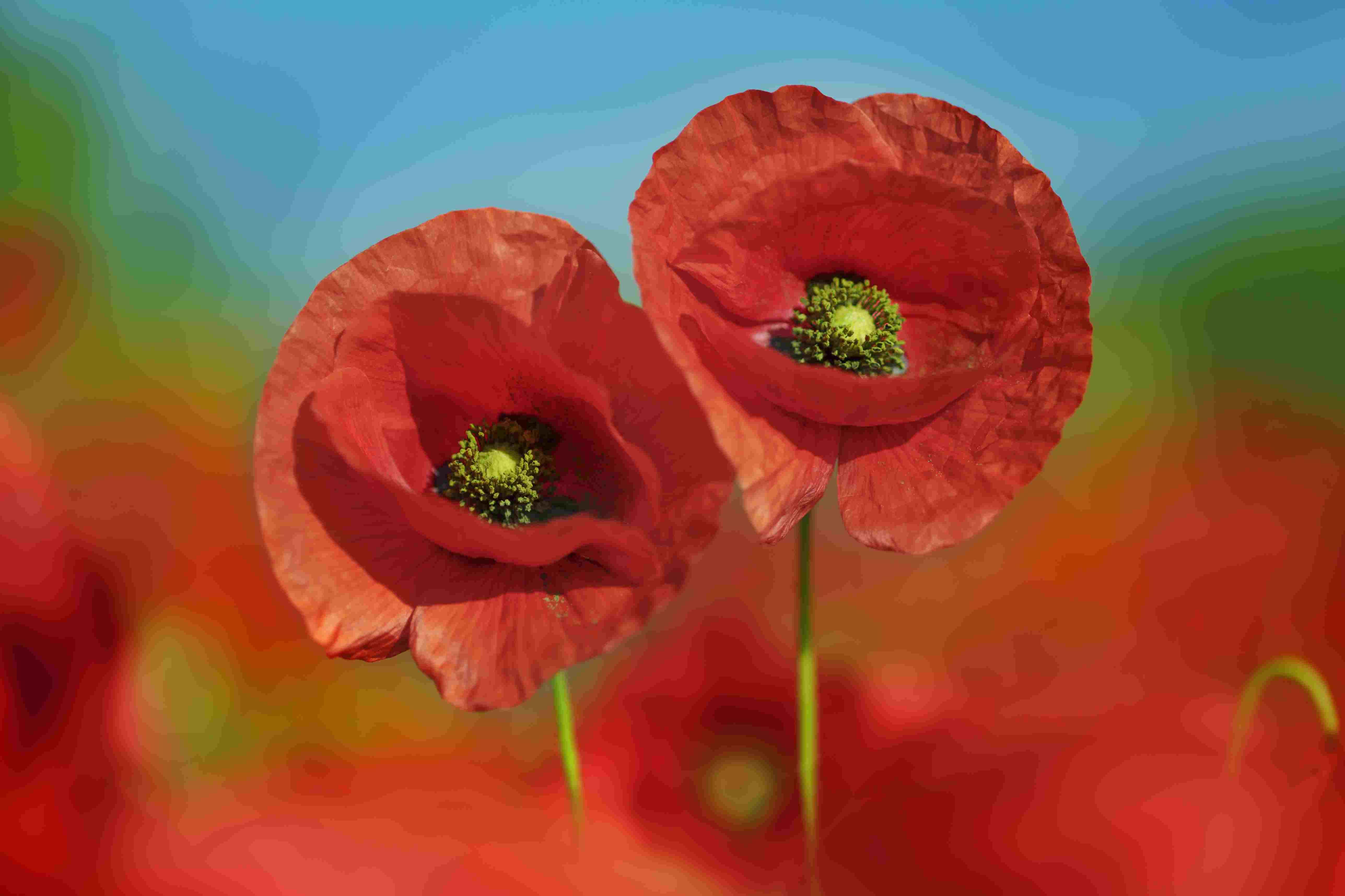 The 10 best garden poppies to grow in every region mightylinksfo