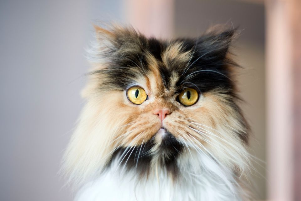 persian calico cat