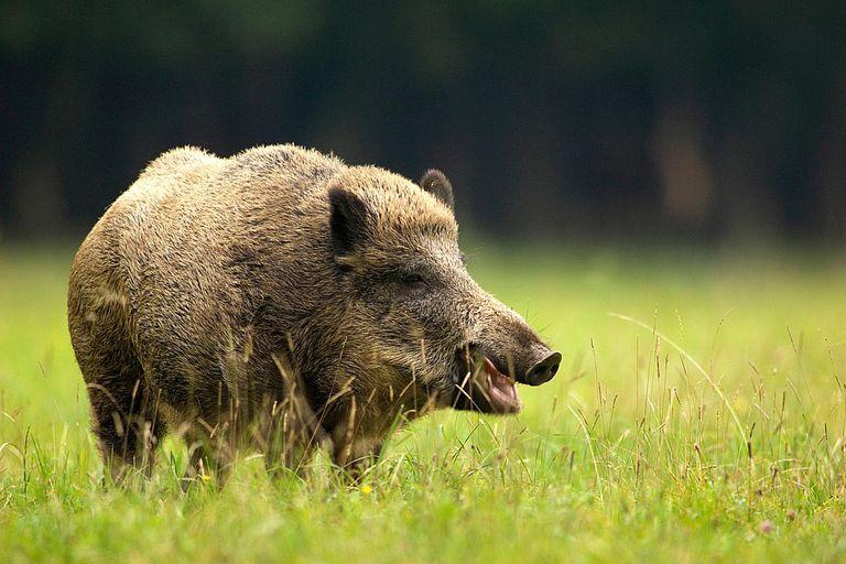 Pigs - Family Suidae