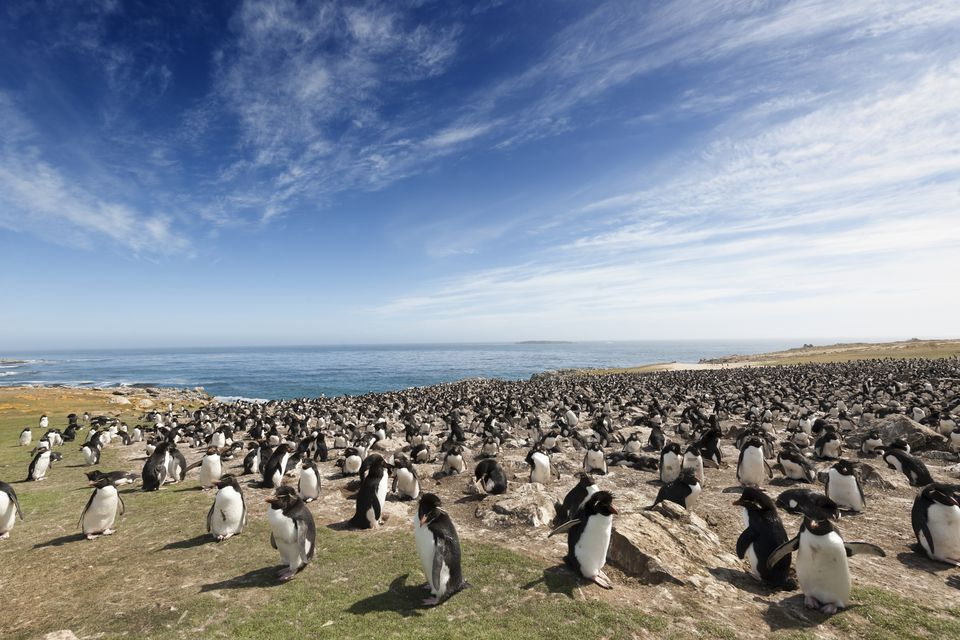 Large Rockhopper Penguin Colony on the Falkland Islands
